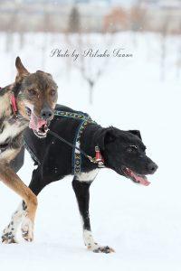 旭川の犬ぞりレース