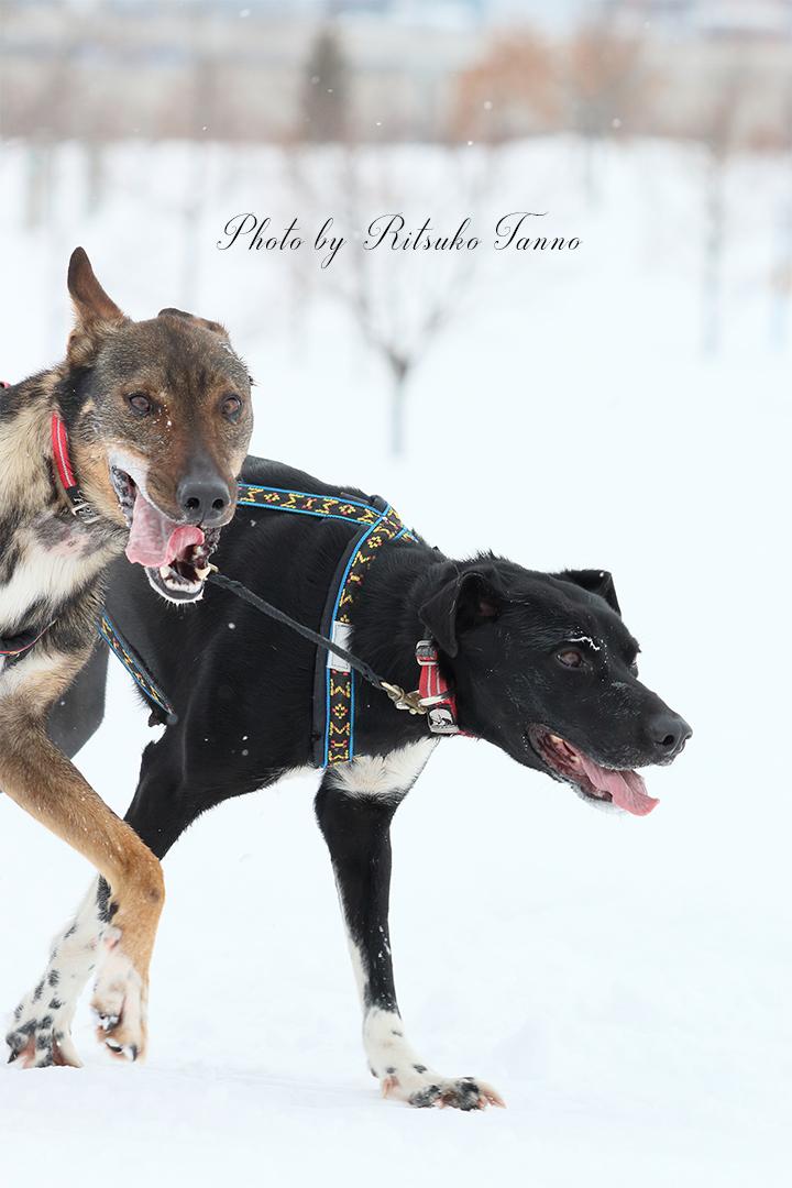 旭川の犬ぞりレースを走る犬たち