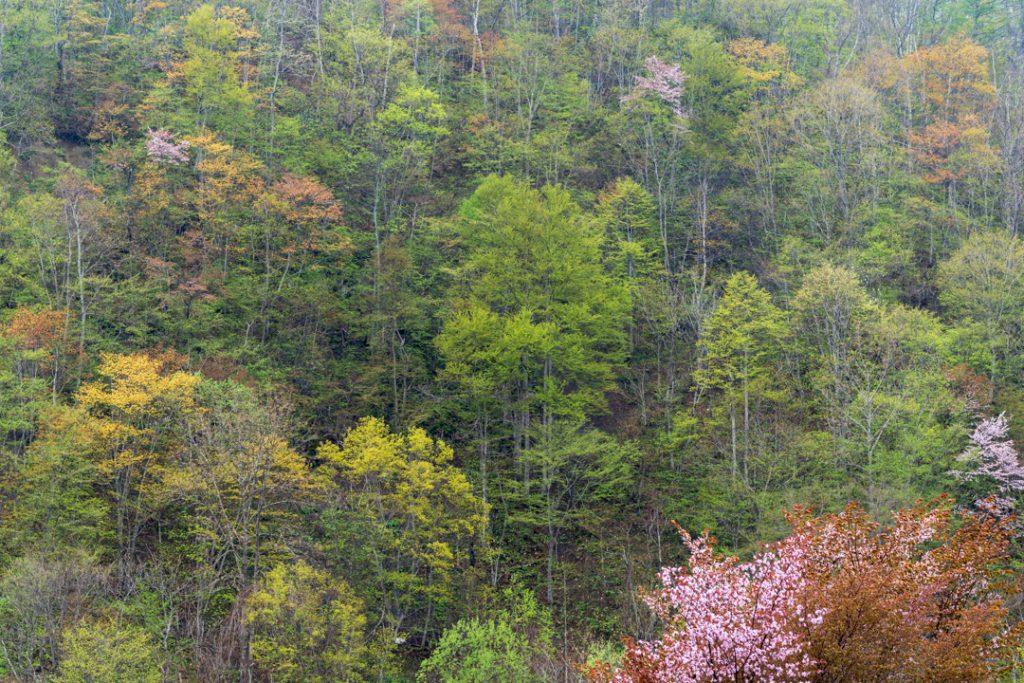 美唄の山の春紅葉と新緑と桜
