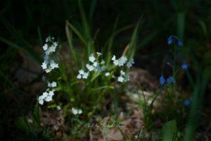 Flowers or Weeds~タチカメバソウ~
