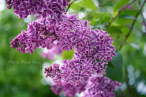 Lilac expressing love~愛をあらわす花、ライラック~