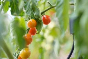 ベランダ菜園のトマト、初収穫