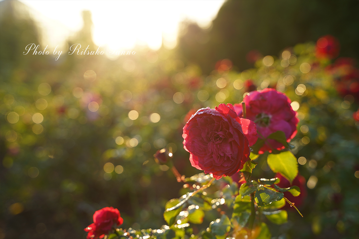 いわみざわ公園 秋のローズフェスタのバラたち