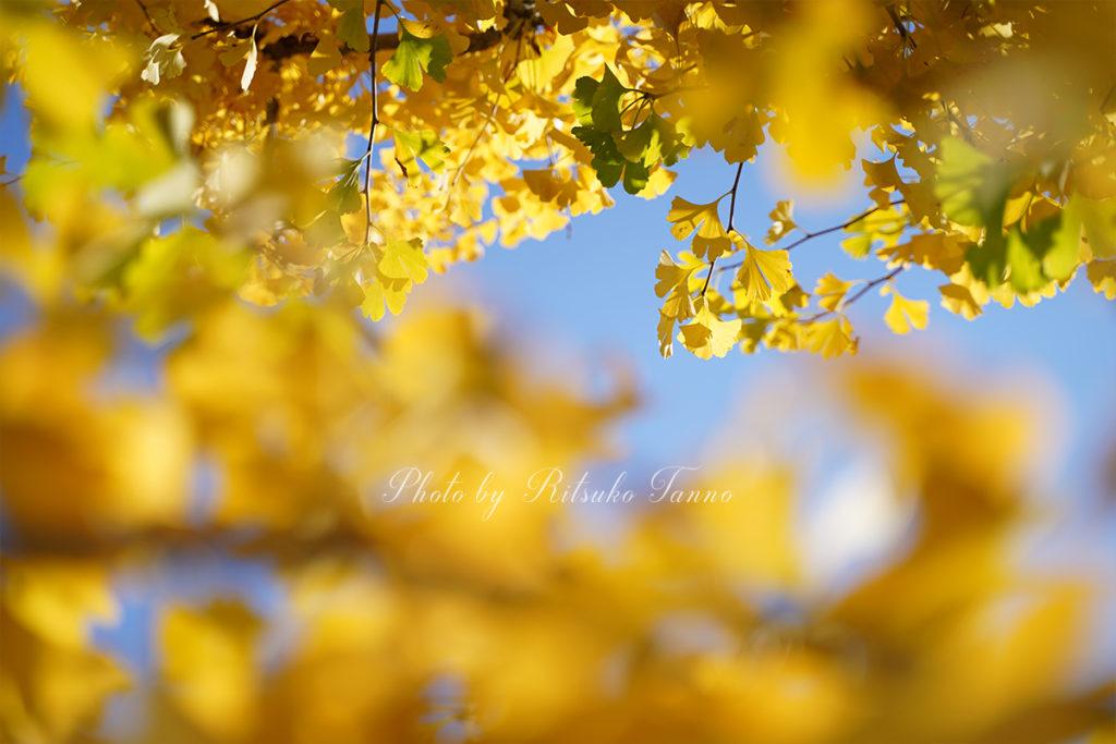 岩見沢の秋(イチョウ)