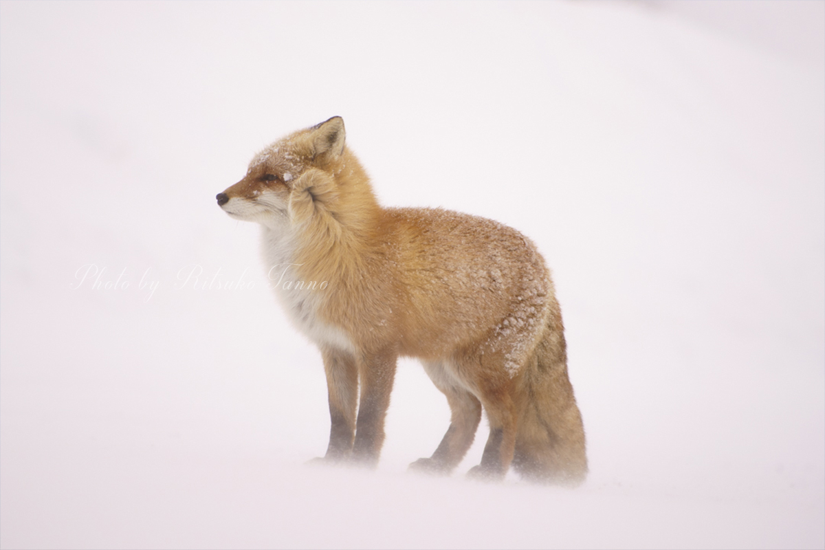 A fox in the blowing snow