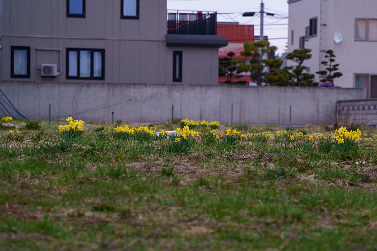空き地に水仙。今日の気温は昨日の半分。