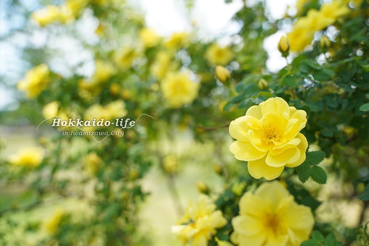いわみざわ公園の春のバラ(2019年)