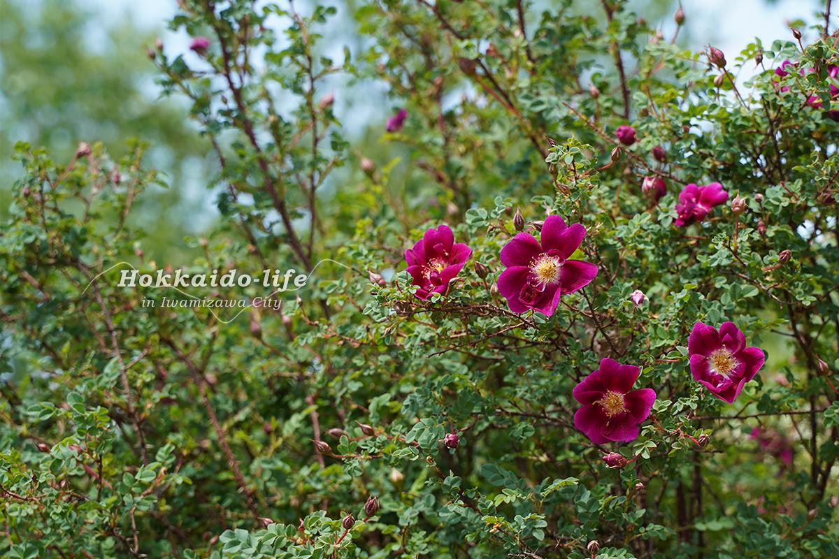 いわみざわ公園の春のバラ(2019年) ウィリアムズ 3世